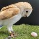 """飼育員どよめく…雄のはずのフクロウが「卵を産みました」!? """"性別間違い""""のワケを動物園に聞いた"""