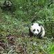 国家公園に再び親子パンダの姿、赤外線カメラが捉える 四川省
