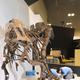 東京・上野の国立科学博物館『恐竜博2019』の開催直前。組み上げられた全身復元骨格の足下で、むかわ竜の実物化石が並べられる