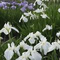 鮮やかに花開く花菖蒲/写真は主催者提供