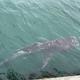 幻の巨大サメ「メガマウス」が館山で目撃 岸壁近くに現れるのは奇跡