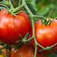 トマトの「助けを求める叫び」を黙らせる害虫の秘けつは「唾液」にあると判明