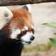 園内の3分の1がレッサーパンダ!鯖江市の西山動物園
