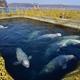 ロシア、「イルカ監獄」から100頭を解放へ 売買目的で飼育か