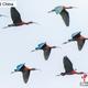 雲南省普?市孟連県の撮影マニアがこのほど、県城付近で、見慣れない鳥類の一群を見つけ、驚き喜んだ。この鳥の群れが、列を組んで稲田で餌を探し、空中を旋回する様子は、極めて壮観だった。