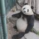 北京動物園のパンダ「福星」の脱毛に注目集まる