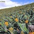 中国の台湾産パイナップル輸入禁止措置をめぐり、中国メディアの