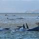 クジラ270頭、豪タスマニア島で打ち上げ 90頭以上が死亡