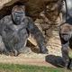 米カリフォルニア州の動物園で、ゴリラ少なくとも2頭のコロナ感染が確認された/From Ken Bohn/San Diego Zoo