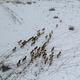 雪原を駆けるモウコノウマ 新疆ウイグル自治区