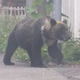 札幌市の住宅街に連日出没していたクマ 猟友会のハンターが駆除