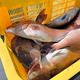 くら寿司が愛媛県内の養殖業者支援のために購入したマダイ(くら寿司提供)