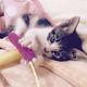 <癒しのわんにゃん>フェルトボールが大好きなツンデレ猫・あずきちゃん