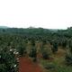 アブラツバキ産業が農民の富裕化を後押し 湖南省永州市