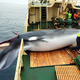 24時間続く激務、それでも 乗組員たちが語る「捕鯨船に乗る理由」