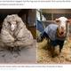 35キロの体毛をまとっていた野生の羊(画像は『New York Post 2021年2月24日付「'He could barely see': Sheep saved from 77 pounds of matted fleece」(Edgar's Mission Inc/ REUTERS)』のスクリーンショット)