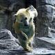 プールに向かって元気よく飛び込む「フブキ」(6日、男鹿水族館GAOで)