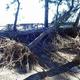 台風19号の暴風雨や高潮で、根こそぎ倒された松=静岡市清水区の三保松原(同市提供)