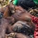 インドネシアの森林火災の際に救出され、西カリマンタン州クタパンの森に帰されたオランウータンの母子。動物保護団体「インターナショナル・アニマルレスキュー」提供(2019年10月11日撮影)。(c)AFP=時事/AFPBB News