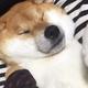 歯磨き後に眠ってしまう柴犬の動画が話題 「いびきが超かわいい」
