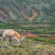 高山で暮らすキタキツネたちには、野生の雄々しさを感じます