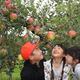 リンゴ狩りを楽しむ子供たち=矢板市長井の加藤農園