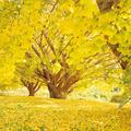 【写真を見る】イチョウの黄色で埋め尽くされた景色は圧巻!