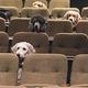 ミュージカルを鑑賞する補助犬/Stratford Festival