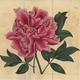 《ボタンの栽培品種(ボタン科)》1809年 個人蔵/photo Brain Trust Inc. 、写真は主催者提供