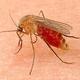 蚊の唾液に痛みを抑制する成分 富山大などの研究チームが発表