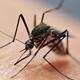 今年の蚊は10月初旬まで注意(写真/アフロ)