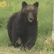 札幌市内にクマが出現、専門家「通常では考えられない異常個体」