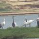 渡り鳥「第1陣」のヘラサギ、鄱陽湖に飛来 江西省
