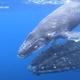 トンガの海を仲良く泳ぐ、ザトウクジラの親子【映像】