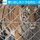 タイ 不正取引から保護したトラ6割近く死ぬ