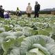 阿蘇山の噴火に農家嘆き キャベツに火山灰付き「商品価値下がる」