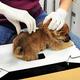 獣医師にマイクロチップを装着される子犬