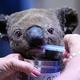 豪ニューサウスウェールズ州にあるポートマッコリー・コアラ病院で治療を受ける、脱水症状を起こし負傷したコアラ(2019年11月2日撮影)。(c)SAEED KHAN / AFP