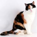 """3種類の毛色を持つ三毛猫は、海外では""""キャリコ""""と呼ばれ、珍"""