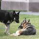ジョー・バイデン米大統領の愛犬メジャー(左)とチャンプ。ホワイトハウス・サウスローン(南庭)で(2021年3月31日撮影)。(c)MANDEL NGAN / POOL / AFP