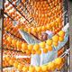 専用干し場に柿をつるす佐藤部会長(福島県伊達市で)