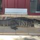 民家の玄関前に体長約2.6メートルのワニが寝そべっているのが見つかる出来事があった/Croc Encounters