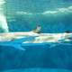 ヨシキリザメ(仙台うみの杜水族館ウェブサイトより)