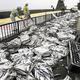 荷台から落ちた大量のサバ(8日午前10時20分頃、和歌山県串本町津荷で)