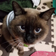 タヌキ似だがれっきとした雑種猫の『たぬ吉』(写真:ねこけんブログより)