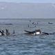クジラ救助、時間との闘い 豪タスマニアで270頭打ち上げ