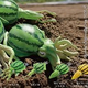 西瓜とイカを融合させた「野菜の妖精 すいか」?イカの胴体が西瓜になっているカプセルトイが発売