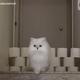 トイレットペーパーの飛び越えチャレンジで、最後の手段に出る猫【映像】