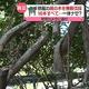 旅館の藤の木を無断で伐採した関西電力「停電防止のため」と説明
