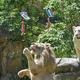 タイ北東部のコンケン動物園で、ウェールズの国旗にぶら下がった肉をつかもうとするホワイトライオンのボーイ(中央、2021年6月18日撮影)。(c)Kampol Duangchin / AFP